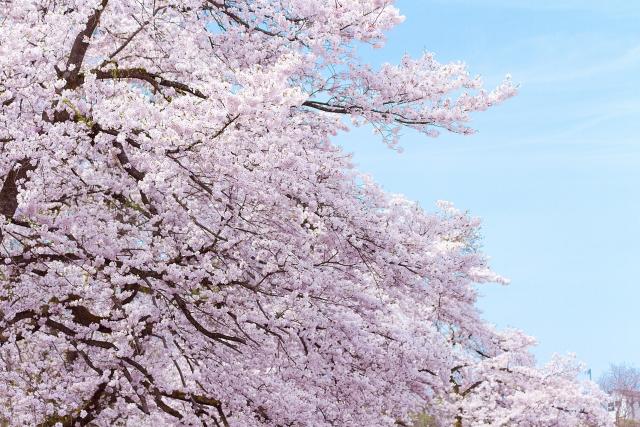 【姓名判断】「桜」について